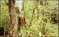 Tree damage gypsy larvae.jpg