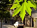 Trees in iran-qom city -پوشش گیاهی و درختان استان قم 04.jpg