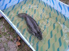 Filhote do peixe-boi-da-amazônia (Trichechus inunguis), também chamado de manati ou manatim. Fonte:  Wikipédia