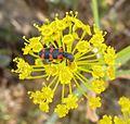 Trichodes Leucopsideus. Soldier Beetle. Cleridae - Flickr - gailhampshire.jpg