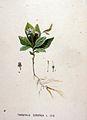 Trientalis europaea — Flora Batava — Volume v19.jpg