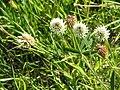 Trifolium montanum02.jpg