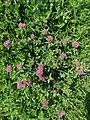 Trifoliums1.jpg