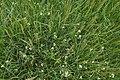 Triglochin maritimum plant (05).jpg