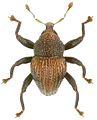 Trigonopterus variabilis holotype - ZooKeys-280-001-g094.jpg