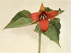 Trillium erectum WFNY-023A.jpg