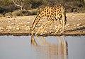 Trinkende Giraffe (Namibia).jpg