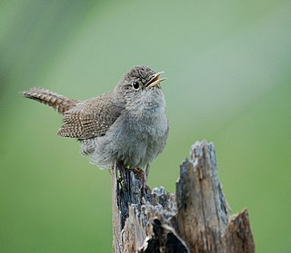 House wren species of bird