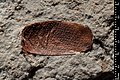 Troglops punctatissima holotype MNHN.F.R06674 indirect lighting.jpg