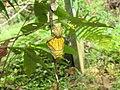 Troides minos - Southern Birdwing pupa at Thattekkadu (2).jpg