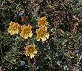 Tropaeolum incisum & Berberis microphylla.jpg