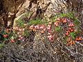 Tropaeolum tricolor by Pato Novoa - 001.jpg