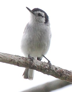 Tropical Gnatcatcher (Polioptila plumbea).jpg