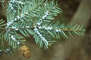 Tsuga canadensis - Shoot infested with hemlock woolly adelgid