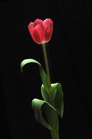 Bunga tulip pink