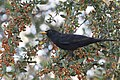 Turdus merula - Common blackbird - Karatavuk 06.jpg