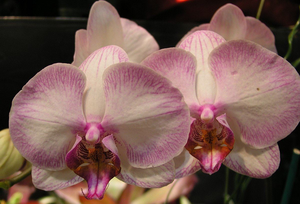 Orchid Wiktionary