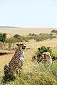 Two cheetahs in Masai Mara, Kenya.jpg