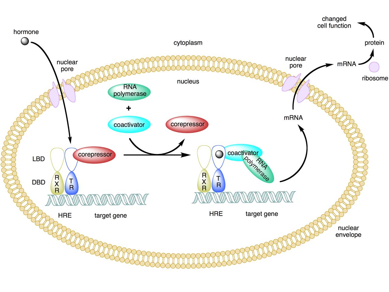 genomic steroid hormone action