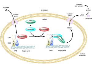 Coactivator (genetics) - Image: Type ii nuclear receptor action