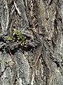 U. pumila-bark-2.jpg