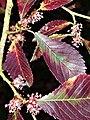 Ulmus 'Frontier' flowers and leaves.jpg