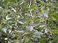 Ulmus americana (5102579170).jpg
