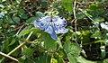 Uma flor de Passiflora sp.jpg