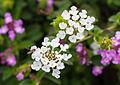 Unidentified flower, Bandungan, Semarang Regency, 2014-09-30 12.jpg