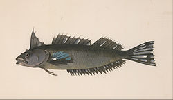 Unknown, after Georg Forster - A fish from New Zealand - Google Art Project.jpg