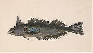 New Zealand topknot species of fish