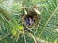 Unknown Nest 19-05-12 (7228237366).jpg