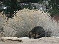 Urocyon cinereoargenteus grayFox sniff.jpg