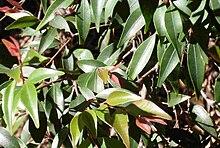 Uromyrtus australis lämnarEDITED.JPG