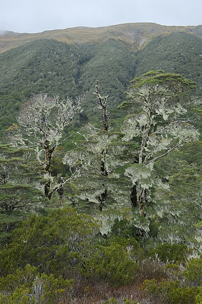 File:Usnea (Old Man's Beard lichen) hanging off beech trees on Lewis Pass.jpg