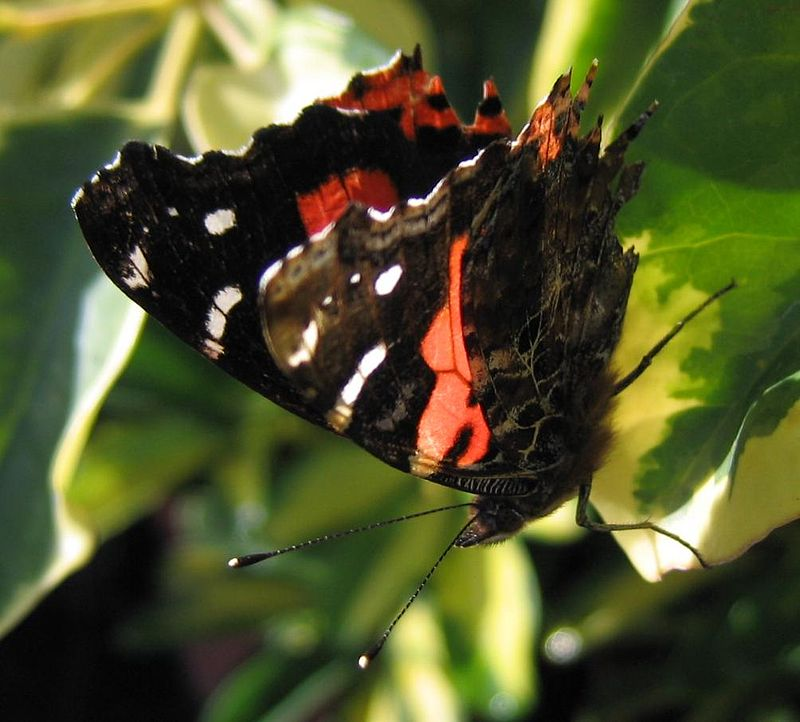 Bộ sưu tập cánh vẩy 6 - Page 12 800px-Vanessa-vulcania-teneriffa-2006-2