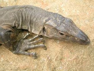 Shuklaphanta National Park - Monitor lizard