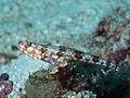Variegated lizardfish (Synodus variegatus) (47778143922).jpg