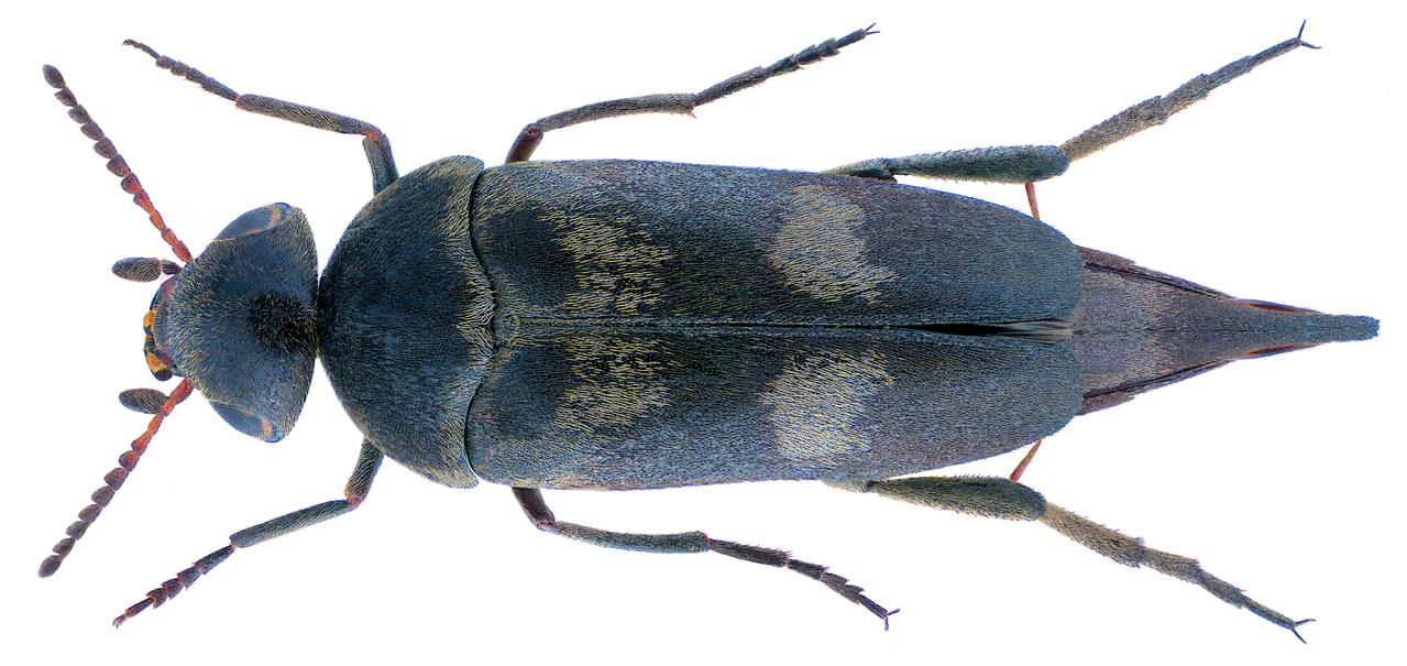 File:Variimorda Villosa (Schrank, 1781) (31558136694).png