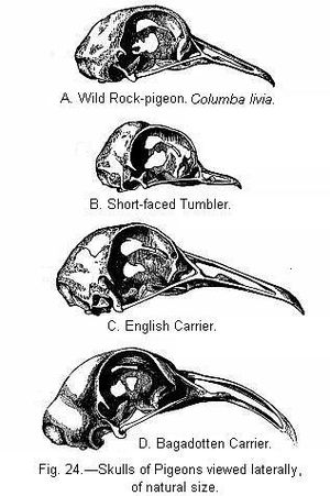 English Carrier pigeon - The skull of the English Carrier (c) compared with other types of pigeon