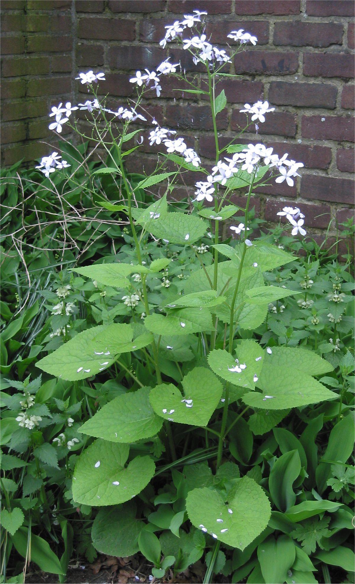 Garden Bush: Ausdauerndes Silberblatt