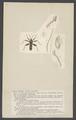 Velia - Print - Iconographia Zoologica - Special Collections University of Amsterdam - UBAINV0274 002 02 0055.tif