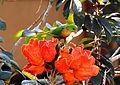 Vernal Hanging Parrot Loriculus vernalis by Dr Raju Kasambe (1).JPG