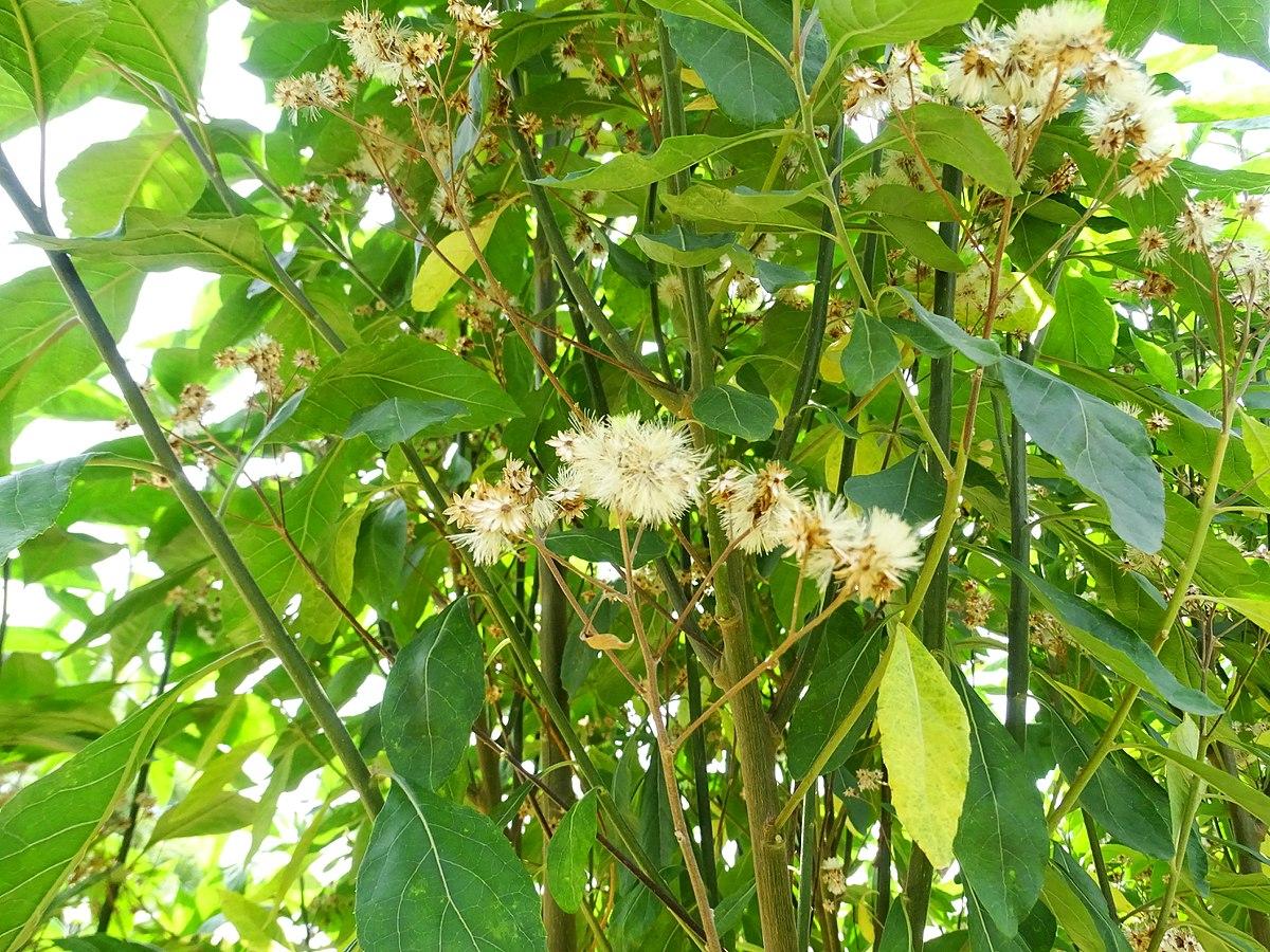 Vernonia amygdalina - Vicipaedia