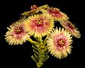 Verticordia grandiflora - Flickr - Kevin Thiele.jpg