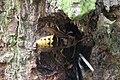 Vespa crabro (27688767726).jpg