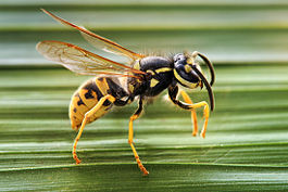 Vespula germanica Horizontalview Richard Bartz.jpg
