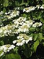 Viburnum plicatum01.jpg
