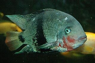 <i>Vieja</i> genus of fishes