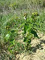 Vincetoxicum hirundinaria (subsp. hirundinaria) sl11.jpg